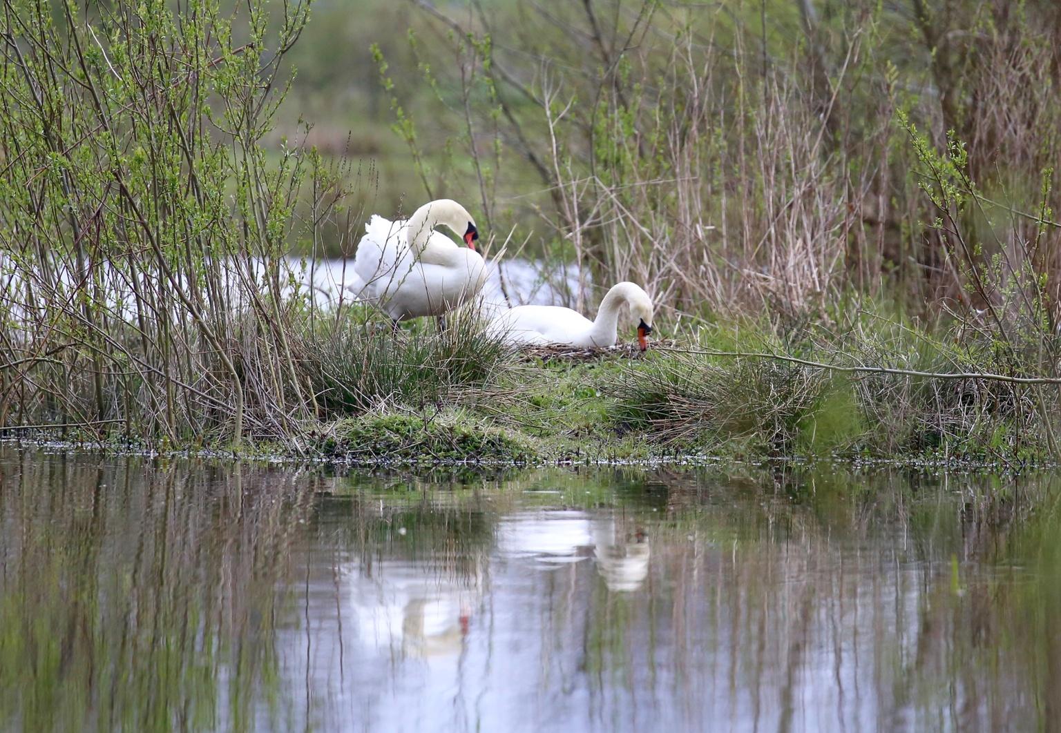 Zwanen - Wisseling van broedbeurt - foto door Ebben op 11-04-2021 - deze foto bevat: water, vogel, fabriek, plant gemeenschap, ecoregio, natuurlijke omgeving, natuurlijk landschap, bek, meer, watervogels