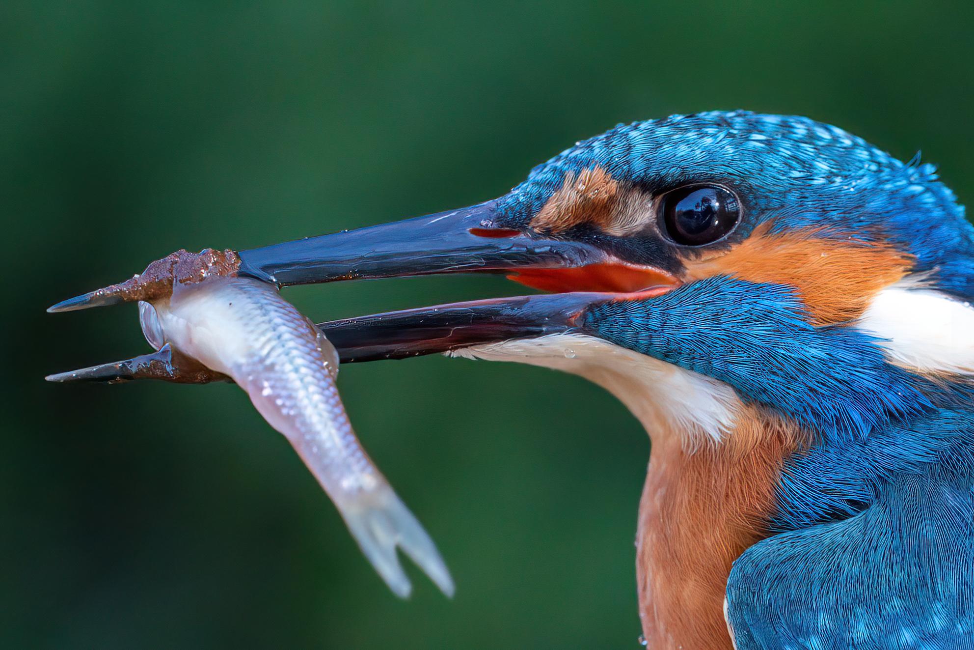 Ijsvogel  - Ijsvogel aan het sushi ontbijt - foto door Geertjeg op 07-04-2021 - locatie: België - deze foto bevat: vogel, organisme, bek, veer, detailopname, elektrisch blauw, dieren in het wild, watervogel, macrofotografie, kraanvogelachtige vogel