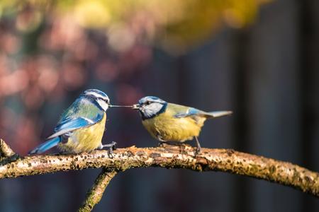 Pimpelmezen - Diversen foto's van deze leuke tuinvogeltjes. - foto door Kompieter op 17-04-2021 - deze foto bevat: vogel, bek, takje, veer, fabriek, zangvogel, staart, chickadee, elektrisch blauw, neerstekende vogel