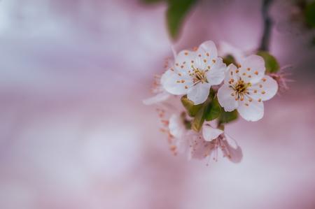 Bloesem - De lente moet toch een keertje zijn echte intrede doen? Hierbij voor jullie een foto van de bloesem van een paar weken geleden (al) - foto door marielledevalk op 14-04-2021 - deze foto bevat: bloem, bloesem, macro, detail, boom, roze, voorjaar, lente, bloem, fabriek, bloemblaadje, takje, boom, bloeiende plant, bloesem, terrestrische plant, pedicel, macrofotografie