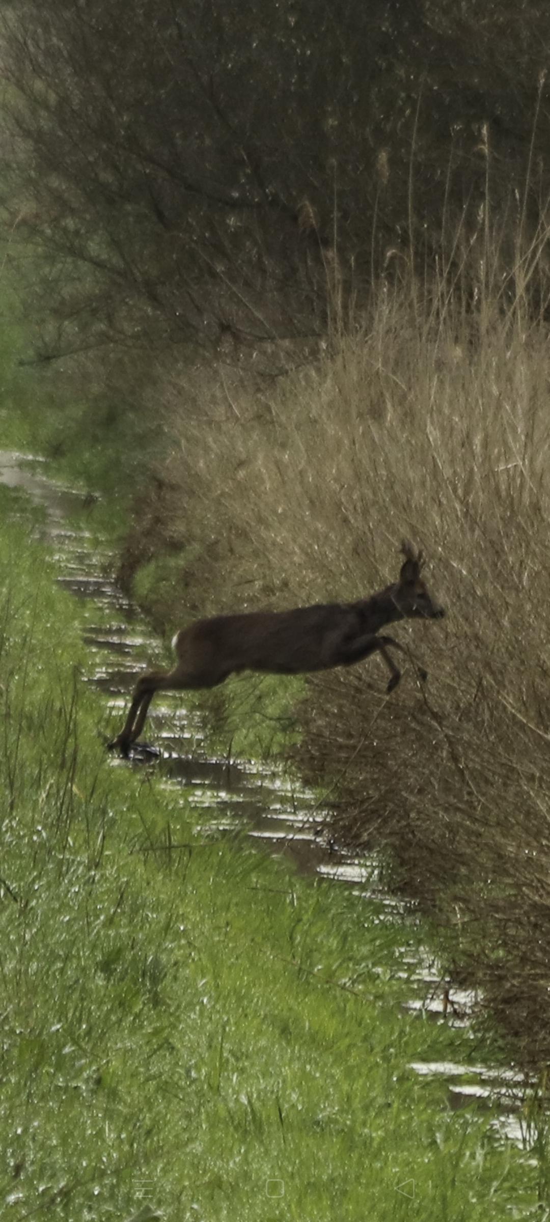 Slootje spring - Dichtbij het centrum. - foto door Erikvdzwan op 11-04-2021 - locatie: 8181 Heerde, Nederland - deze foto bevat: fabriek, natuurlijk landschap, carnivoor, hout, fawn, gras, terrestrische dieren, grasland, staart, boom
