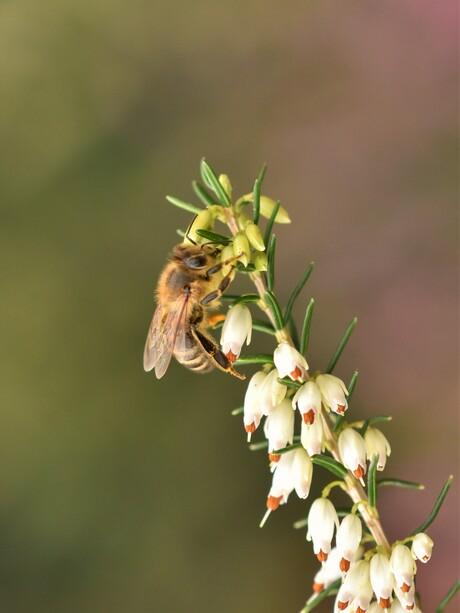 Bijen tellen...