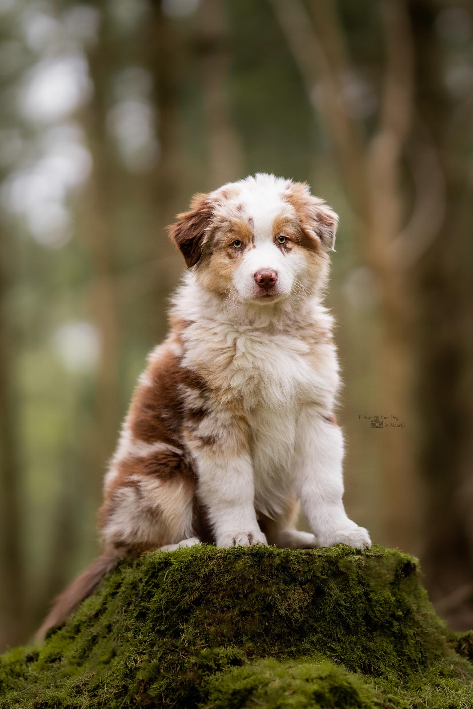 Knappe pup - Een Australische herder pup van 10 weken oud. - foto door PictureYourDog op 03-05-2021 - locatie: Oosterhout, Nederland - deze foto bevat: pup, puppy, honden, hond, hondenfotograaf, hond, fabriek, hondenras, carnivoor, metgezel hond, fawn, gras, snuit, boom, sportieve groep