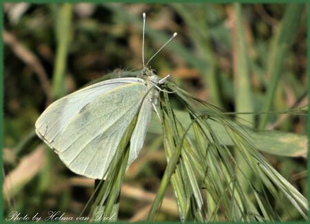 In het hoge gras - foto gemaakt in het hoge gras in Algarrobo Costa - foto door Helmi_zoom op 15-04-2021 - locatie: 29751 Algarrobo-Costa, Málaga, Spanje - deze foto bevat: bestuiver, insect, vlinder, geleedpotigen, motten en vlinders, fabriek, gras, vleugel, terrestrische plant, leptidea