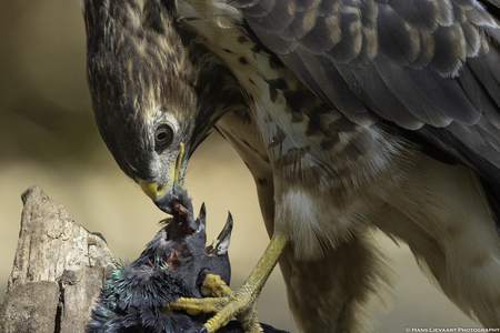 Buizerd aan het diner - Gemaakt in de bossen nabij Oss - foto door Cobra427 op 12-04-2021 - locatie: Oss, Nederland - deze foto bevat: vogel, accipitridae, bek, veer, organisme, valk, falconiformes, roofvogel, vleugel, accipitriformes
