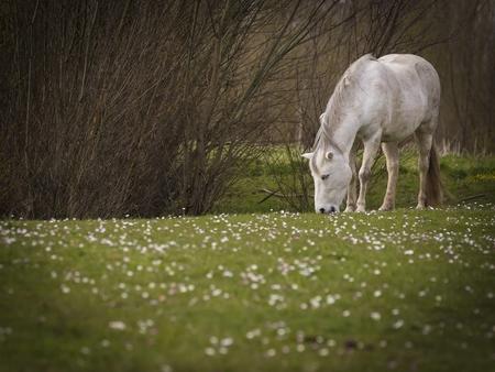 Tinten wit - Grazend paard  - foto door aloyss op 12-04-2021 - locatie: Kandiastraat, 6923 SC Groessen, Nederland - deze foto bevat: paard, uiterwaard, g, paard, fabriek, boom, gras, natuurlijk landschap, werkend dier, hout, terrestrische dieren, grazen, weide