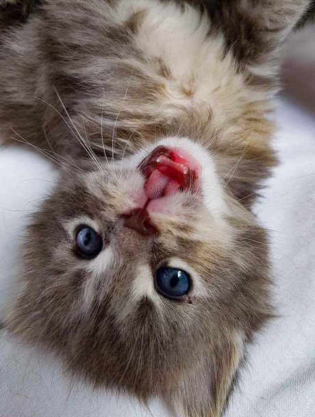 Maine coon kitten Ivy