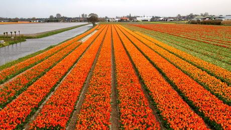 Bollen in oranje