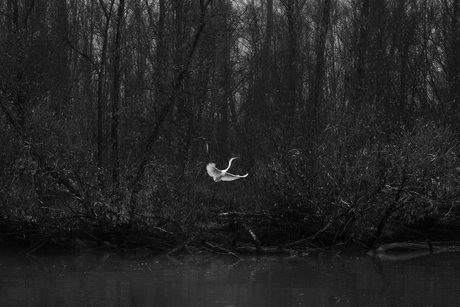 Witte reiger in de Biesbosch