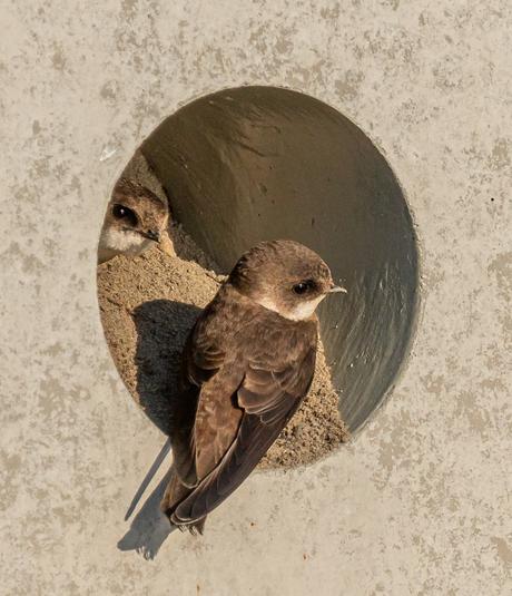 Zwaluwstel aan de slag in een betonnen nest