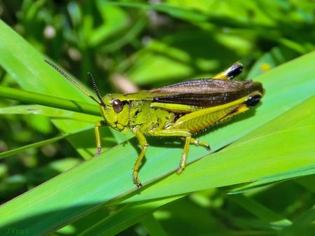 Moerassprinkhaan - Een forse groengele sprinkhaan van de vochtige en moerasachtige graslanden. - foto door Vissernpz op 16-04-2021 - locatie: Assen, Nederland - deze foto bevat: sprinkhaan, groen, groot, natuur, veldsprinkhaan, insect, geleedpotigen, oog, fabriek, vloeistof, terrestrische plant, plaag, gras, boom, detailopname