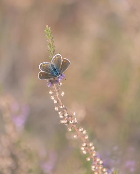 Vlinders op de heide