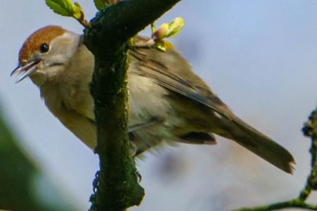 Zwartkop (female)
