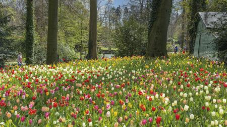 floraliën  - tulpen in het kasteelpark in groot bijgaarden - foto door BriMo-foto op 05-05-2021 - locatie: Isidoor van Beverenstraat 5, 1702 Dilbeek, België - deze foto bevat: tulp, bloem, park, floraliën, bloem, fabriek, boom, blad, bloemblaadje, natuurlijk landschap, gras, lucht, kruidachtige plant, terrestrische plant