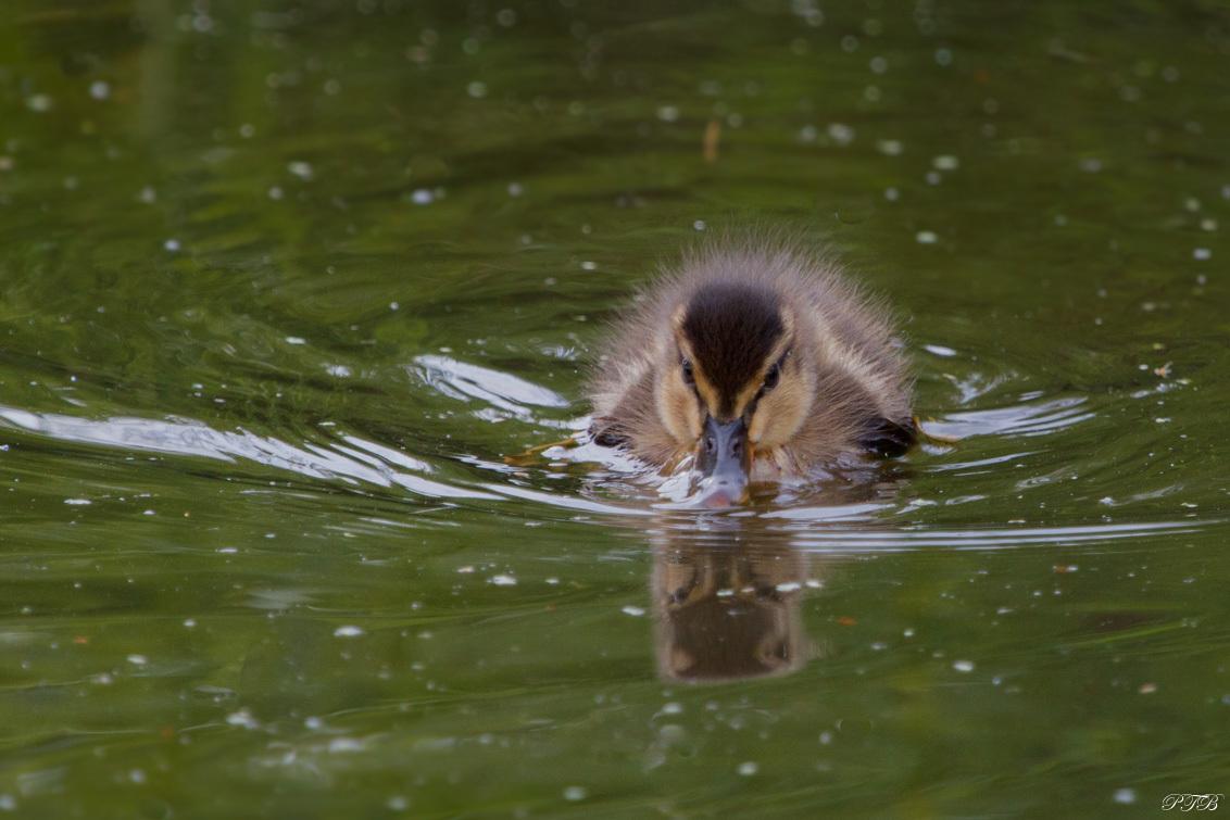Pulletje 2 - Hetzelfde pulletje als op mijn vorige foto die ik geplaatst heb.   Dank jullie voor de reacties op mijn vorige foto.  Groetjes Pauline - foto door Tamara66 op 05-05-2021 - deze foto bevat: pulletje, dons, polder, natuur, slebberen, snaveltje, water, zwemmen, kuiken, eendje, voorjaar, water, vloeistof, vogel, bek, vloeistof, watervogels, meer, eenden, ganzen en zwanen, veer, eend
