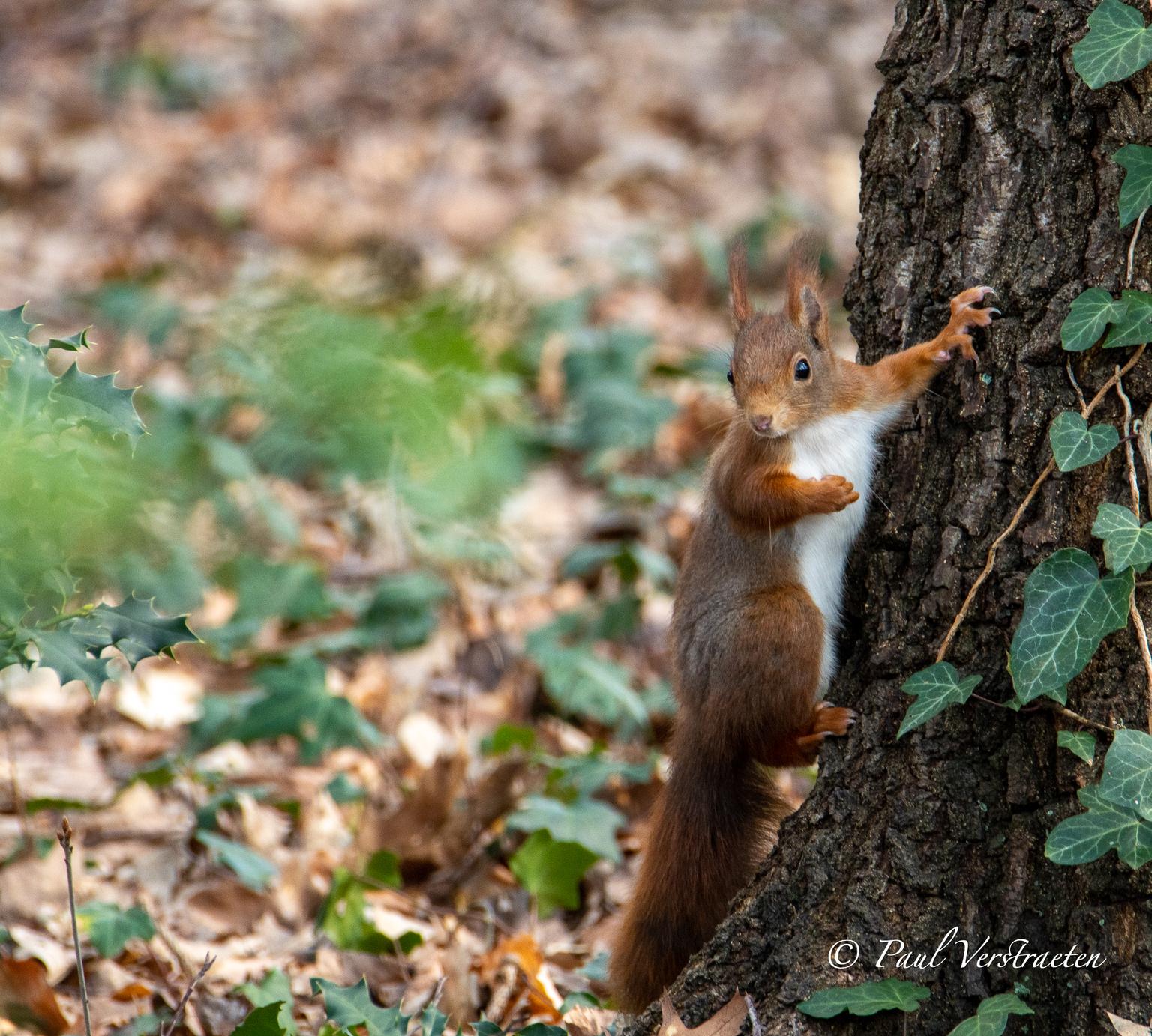 Eekhoorn - Eekhoorn - foto door pablo21 op 15-04-2021 - locatie: Hulst, Nederland - deze foto bevat: euraziatische rode eekhoorn, fabriek, knaagdier, fawn, gras, eekhoorn, fox eekhoorn, terrestrische dieren, bakkebaarden, hout