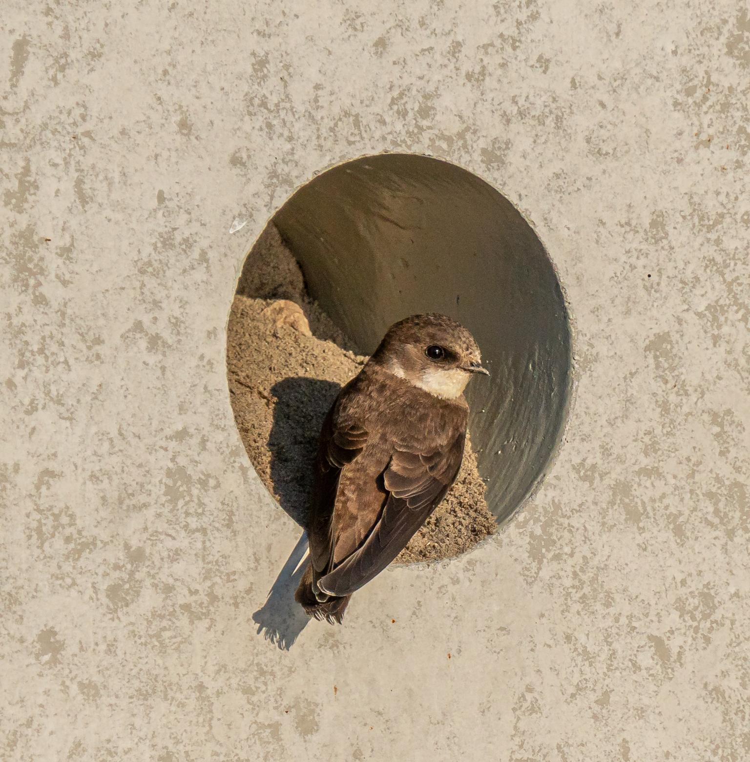 Betonnen nest van een oeverzwaluw - De gemeente Haarlemmermeer heeft een betonnen broedwand gemaakt voor oeverzwaluwen. - foto door Daalm op 17-04-2021 - deze foto bevat: oeverzwaluw, zwaluwen, vogel, bek, veer, falconiformes, vleugel, hout, staart, dieren in het wild, accipitridae, accipitriformes