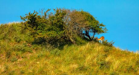 Damhert op een heuvel