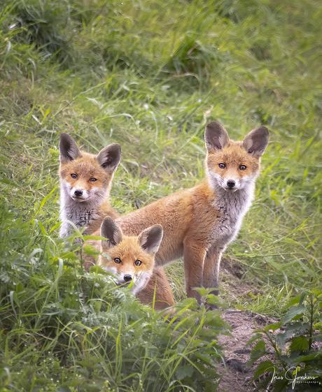 Nieuwsgierige vosjes