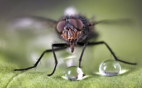 Vlieg met waterdruppel