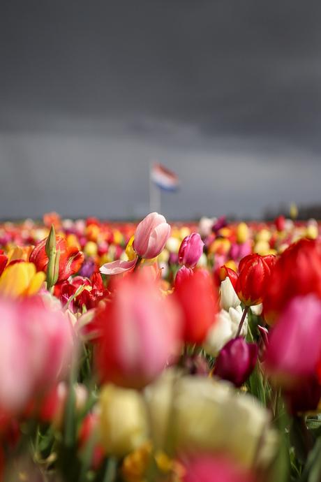 Freedom tulips