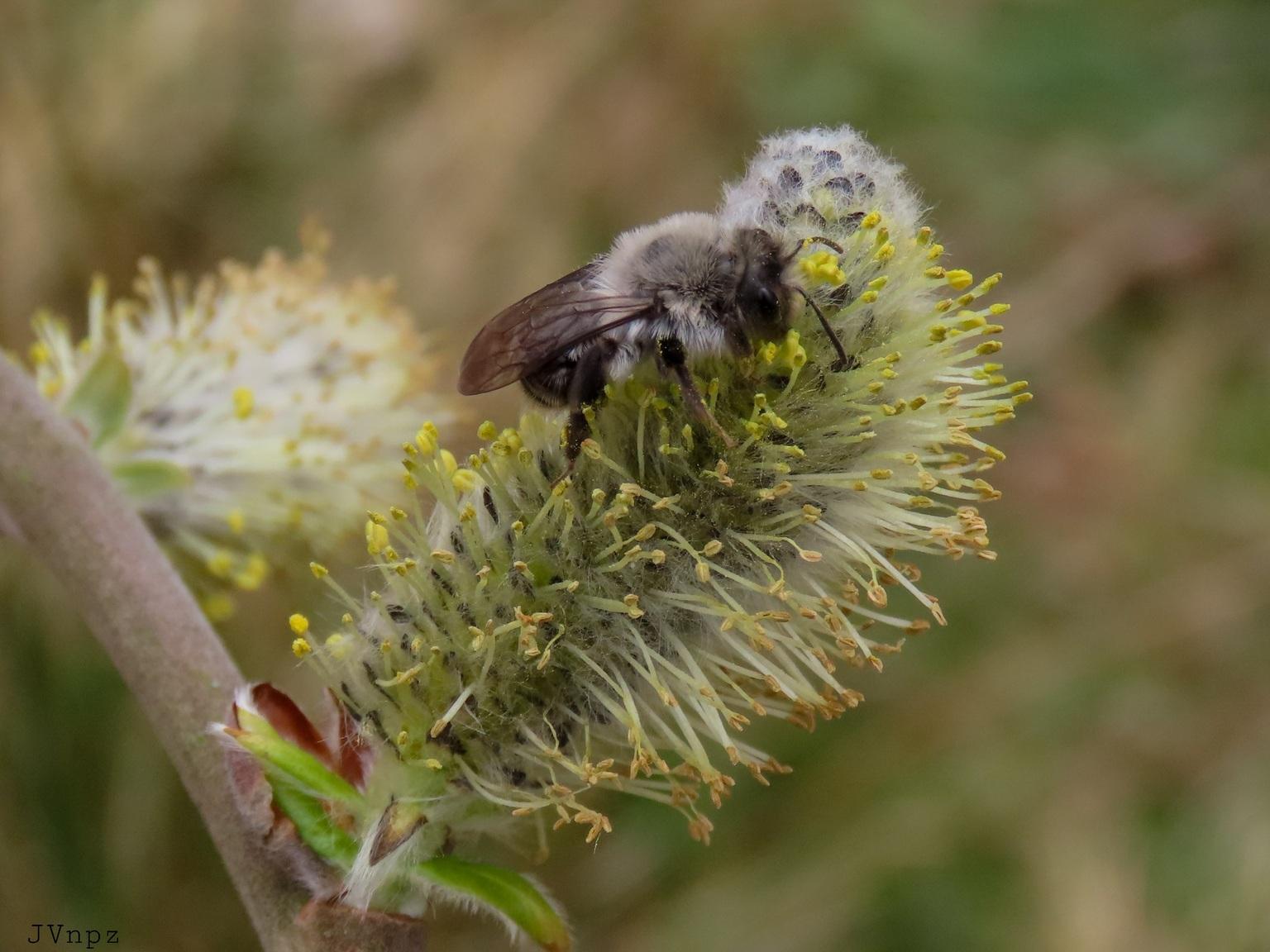 Grijze Zandbij - De grijze zandbij is een van de grootste zandbijen  - foto door Vissernpz op 10-04-2021 - deze foto bevat: bij, honing, natuur, macro, wilg, zandbij, bloem, fabriek, bestuiver, geleedpotigen, insect, honingbij, plaag, bloeiende plant, hommel, ongewervelden