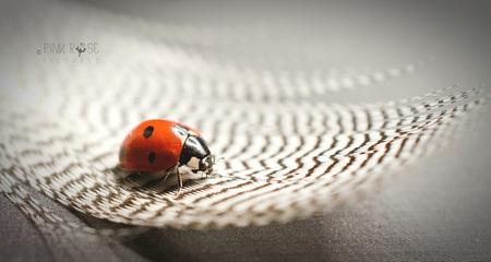 Veertje - Zo licht als een veertje...  Dank voor de reacties bij de vorige upload. Lfs Marieke - foto door PinkRosePictures op 10-04-2021 - deze foto bevat: lieveheersbeestje, veertje, veer, macro, natuur, insect, insect, geleedpotigen, lieveheersbeestje, hout, grijs, kever, plaag, vloeren, rode insecten, parasiet