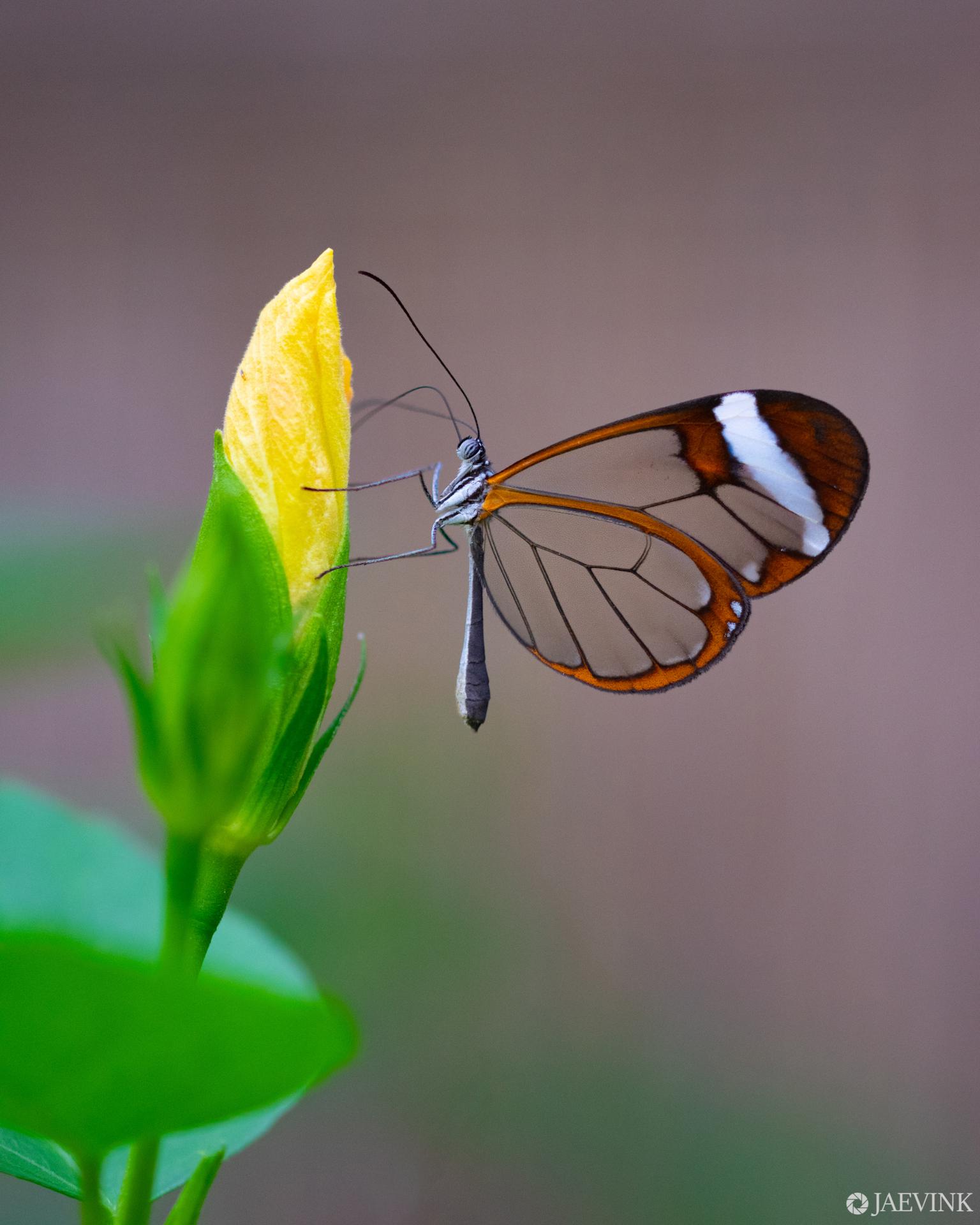 Glas - Glasbutterfly - foto door vwinke op 15-04-2021 - deze foto bevat: macro, vlinder, butterfly, glasvlinder, natuur, dieren, bestuiver, insect, geleedpotigen, vlinder, motten en vlinders, organisme, fabriek, lijn, vleugel, plaag