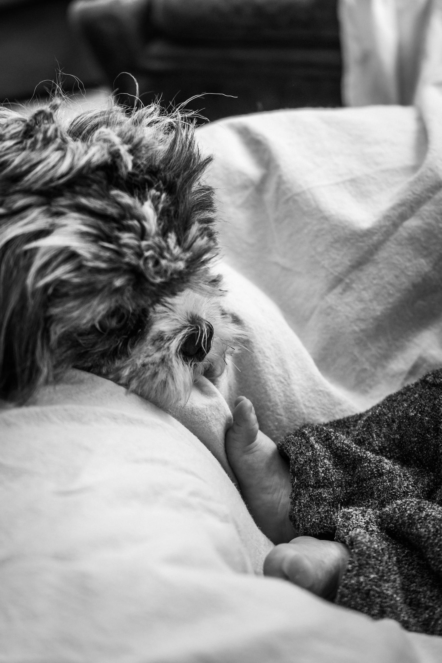 The endless love - De liefde tussen een puppy en een pasgeboren baby. - foto door Kylie.vdh op 10-04-2021 - locatie: Steenokkerzeel, België - deze foto bevat: hond, baby, zwart-wit, close-up, liefde, gewervelde, comfort, textiel, carnivoor, zoogdier, zwart en wit, grijs, stijl, felidae, hondenras
