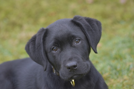 Labrador  - Puppy  - foto door RuudvandenElsen1961 op 15-04-2021 - locatie: Nuenen, Nederland - deze foto bevat: hond, fabriek, carnivoor, hondenras, gras, werkend dier, metgezel hond, retriever, bakkebaarden, halsband