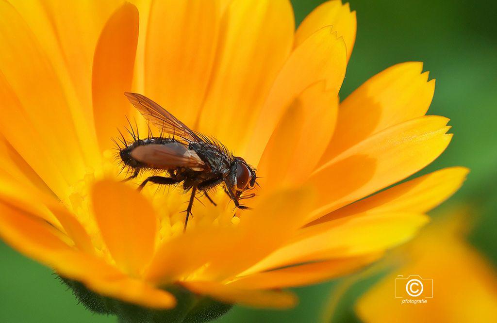 Voorjaarsgevoel - Het blijft nu zo medio april toch nog wat somber en kil weer, dus plaats ik vandaag maar eens deze kleurrijke opname, zo krijg je hopelijk dan toch n - foto door jzfotografie op 15-04-2021 - deze foto bevat: bloem, geel, insect, voorjaar, groen, bruin, vleugels, natuur, blaadjes, scherpte, kleuren, vlieg, bloem, fabriek, bestuiver, insect, geleedpotigen, bloemblaadje, plantkunde, oranje, honingbij, plaag