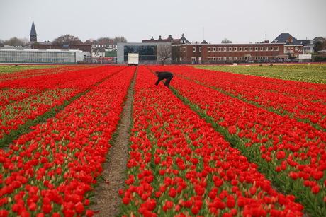 Tulpenveld -rood