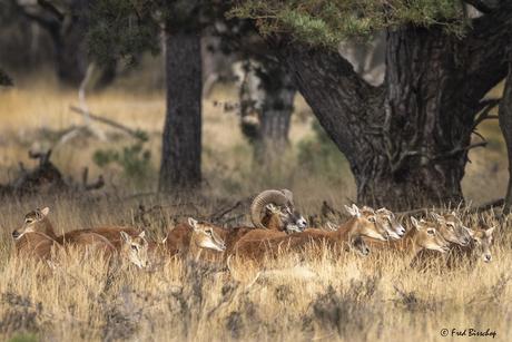 Moeflon  schapen op de Hoge Veluwe