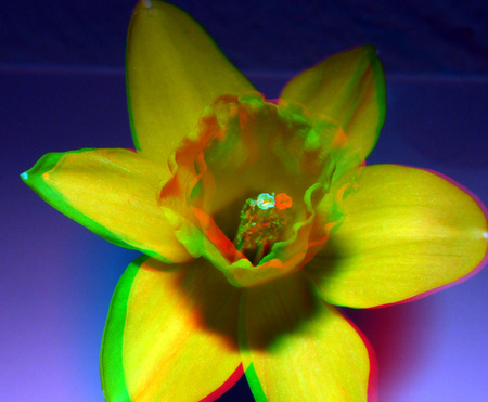 narcis  3D Lumix H-FT012 1mm spacers - 3D macro anaglyph stereo red/cyan - foto door hoppenbrouwers op 14-04-2021 - locatie: Rotterdam, Nederland - deze foto bevat: h-ft012,lens,3d, h-ft012, 3d lens, lumix, anaglyph, flower, stereo, bloem, fabriek, bloemblaadje, terrestrische plant, kruidachtige plant, eenjarige plant, waterplant, bloeiende plant, detailopname, stuifmeel