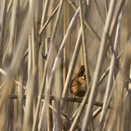 Winterkoning - Volop zingend en baltsend in de Rijnstrangen - foto door aloyss op 10-04-2021 - locatie: Bergsche hoofd, Pannerden - deze foto bevat: fabriek, vogel, bek, takje, hout, veer, terrestrische dieren, gras, dieren in het wild, boom