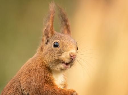 Verraste eekhoorn - Plots kreeg die de lens in de gaten... - foto door Positivo_zoom op 07-04-2021 - locatie: Kalmthoutse Heide, 2920 Kalmthout, België - deze foto bevat: eekhoorn, hoofd, oog, euraziatische rode eekhoorn, knaagdier, bakkebaarden, eekhoorn, fawn, hout, terrestrische dieren, snuit