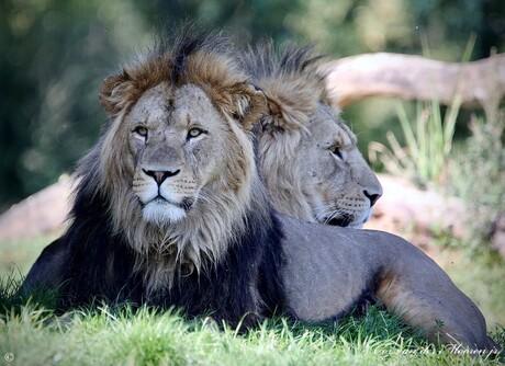 Leeuwen, zijn de Koning der Dieren !!!