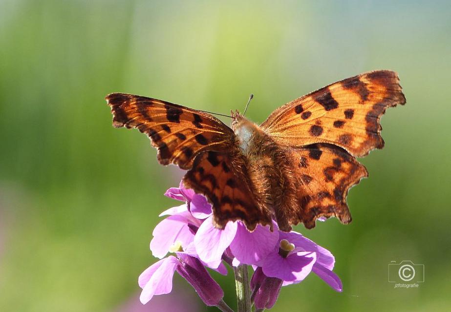 """Vlinder  de  """"gehakkelde aurelia """" - De eerste vlinders zijn alweer gespot  dus is het vlinderseizoen weer aangebroken hopelijk zullen we de gehakkelde aurelia in de zomer ook weer vaak  - foto door jzfotografie op 09-04-2021 - deze foto bevat: kleuren, vlinder, naam, gehakkelde aurelia, bloem, natuur, nederland, contrast, lila, groen, bruin, licht, dof, zomer, bos, bloem, bestuiver, vlinder, fabriek, insect, geleedpotigen, paragraaf, motten en vlinders, bloemblaadje, argynnis"""