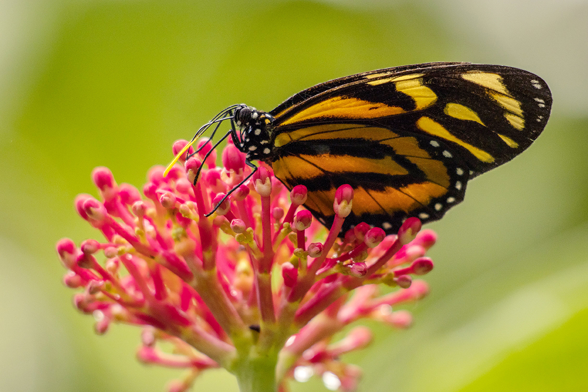 Orange - Vlinder op bloem - foto door cdgrf op 16-04-2021 - deze foto bevat: vlinder, bloem, groen, oranje, roze, natuur, wildlife, bloem, fabriek, vlinder, bestuiver, geleedpotigen, bloemblaadje, insect, motten en vlinders, organisme, bloeiende plant