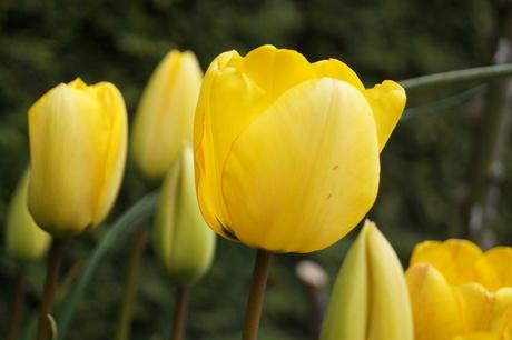 Gele tulp - 1