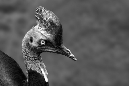 Kasuaris vogel - Kasuaris in zwat-wit - foto door fotohela op 12-04-2021 - locatie: Hoorn 59, 2404 HG Alphen aan den Rijn, Nederland - deze foto bevat: kasuaris, vogel, zwart-wit, portret, loopvogel, hoofd, vogel, oog, bek, galliformes, veer, iris, vleugel, niet-vliegende vogel, terrestrische dieren