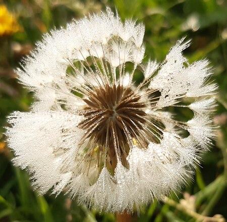 spel van pluis en licht - pluis van de paardenbloem in het zonnetje - foto door Krea10 op 15-04-2021 - locatie: Huizen, Nederland - deze foto bevat: bloem, fabriek, wit, bloemblaadje, terrestrische plant, bloeiende plant, detailopname, stuifmeel, eenjarige plant, daisy familie
