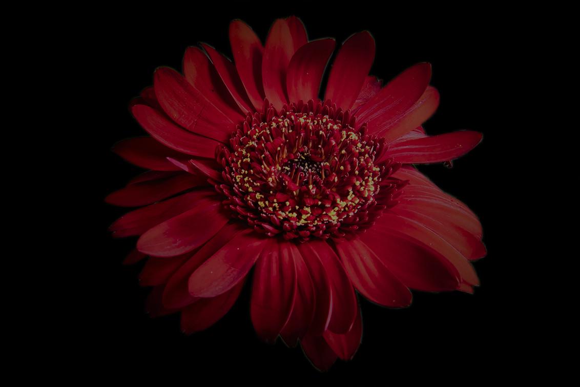 Gerbera - Uitgelicht Gerbera - foto door ErwinWarbroek op 11-04-2021 - deze foto bevat: bloem, natuur, flora, rood, boeket, bloem, fabriek, bloemblaadje, bloeiende plant, magenta, snij bloemen, eenjarige plant, kunst, evenement, boeket