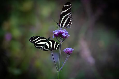 Zebravlinders op bloem