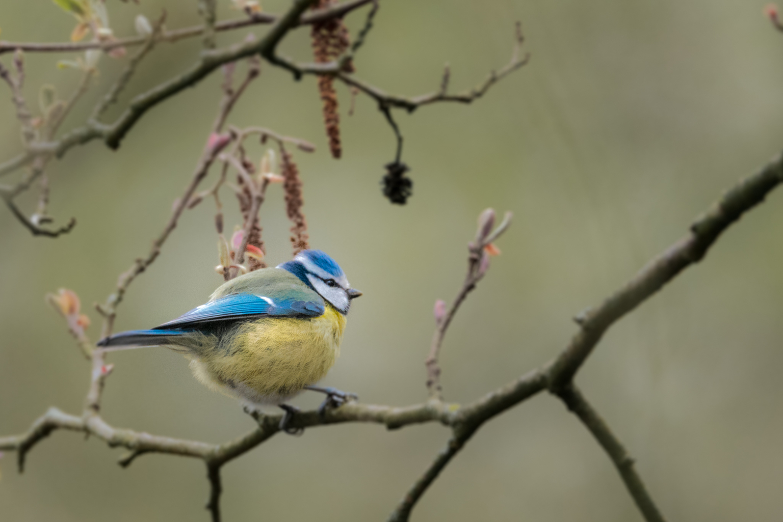 Pimpelmezen. - Diversen foto's van deze leuke tuinvogeltjes. - foto door Kompieter op 17-04-2021 - deze foto bevat: vogel, bek, takje, afdeling, blauwe gaai, veer, vleugel, zangvogel, staart, boom
