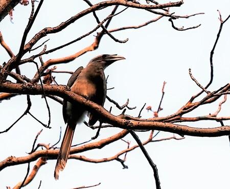 Mijn Reizen  - later  in de tweede game  zag ik er nog een zitten  op een tak  maar ook dit is de Indische grijze neushoorn  vogel.. jammer dat ik die andere  niet  - foto door Stumpf op 11-04-2021 - locatie: India - deze foto bevat: vogel, lucht, takje, fabriek, afdeling, bek, veer, boom, staart, neerstekende vogel