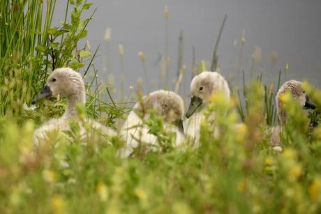 Jonge zwaantjes