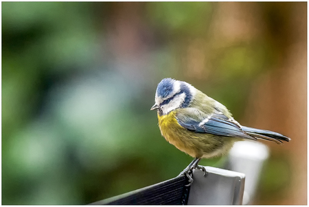 Pimpelmeesje - Pimpelmeesje op stoel  - foto door Hblfotografie op 11-04-2021 - locatie: Kempervennendreef 8, 5563 VB Westerhoven, Nederland - deze foto bevat: vogel, bek, veer, aanpassing, zangvogel, chickadee, takje, elektrisch blauw, neerstekende vogel, staart