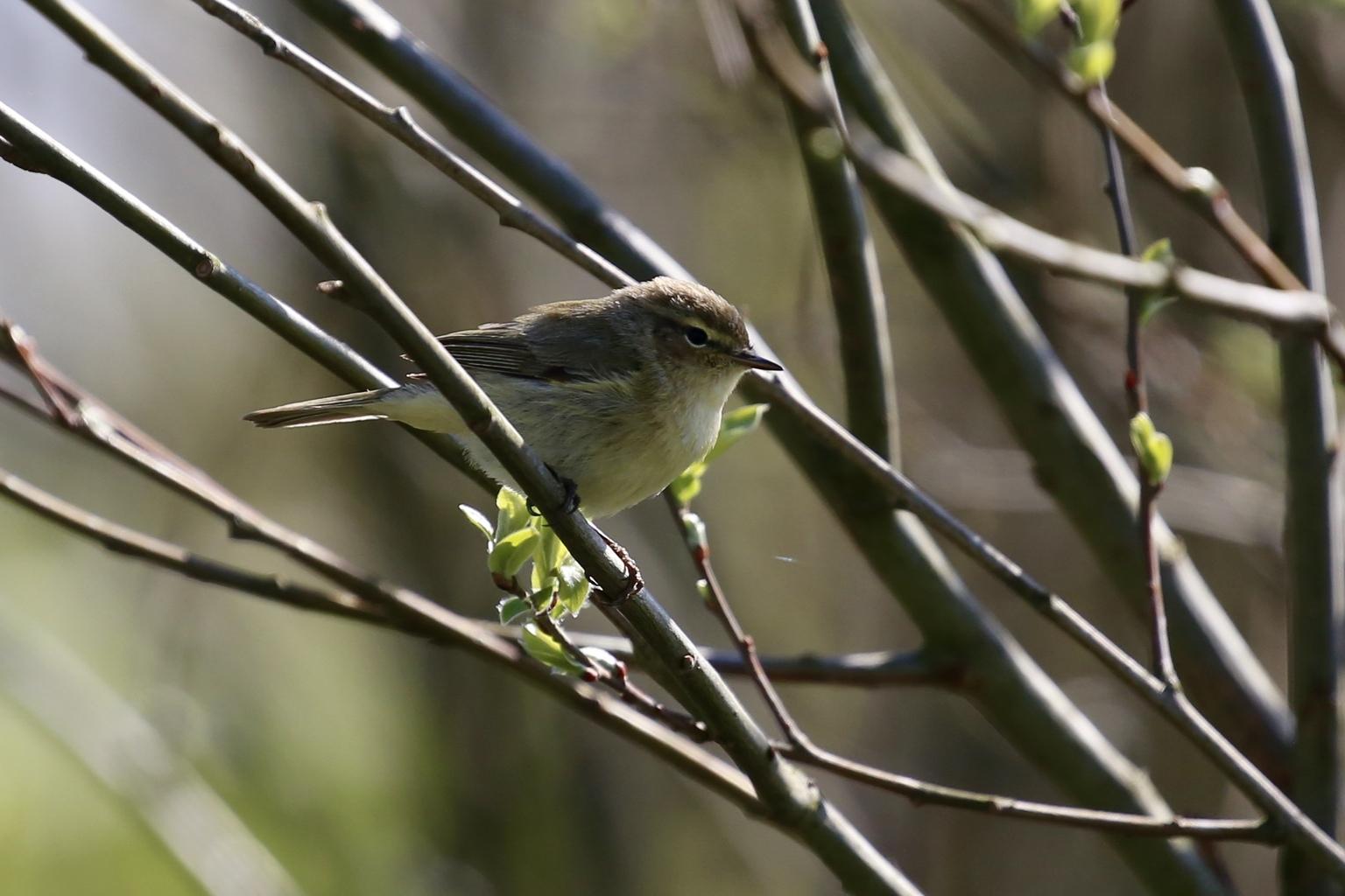 fitis/tjiftjaf - door de vele vogelgeluiden heb ik niet gehoord hoe deze floot - foto door Ebben op 17-04-2021 - deze foto bevat: vogel, fabriek, takje, afdeling, bek, hout, veer, zangvogel, vleugel, staart