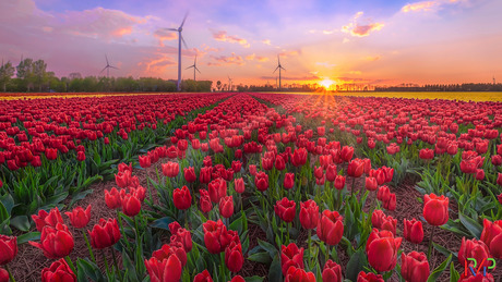 Rood tulpenveld tijdens zonsondergang